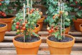 Evde Saksıda-Şişede Domates Yetiştirmek